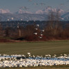 Snow Geese gathering in farm field in Snohomish, WA.