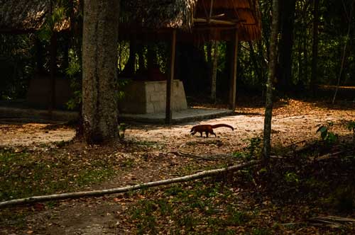 a coatimundi in Tikal National Park