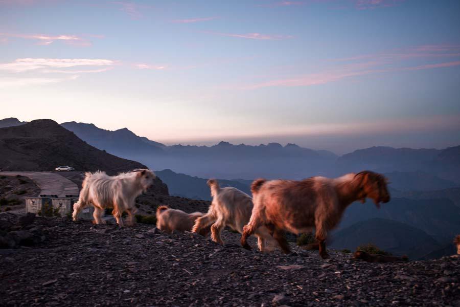 jabal-shams-oman-sheep-sunset