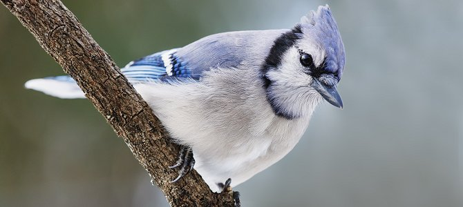 Discover the Blue Jay