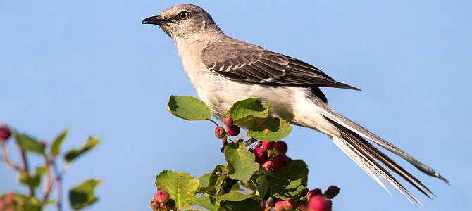 Bird of the Week: Northern Mockingbird