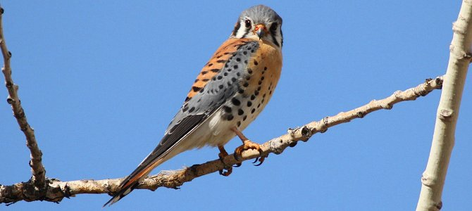 Bird of the Week: American Kestrel