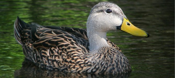 Bird of the Week: Mottled Duck