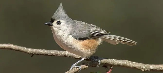Bird of the Week: Tufted Titmouse