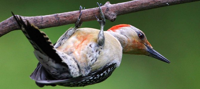 Bird of the Week: Red-Bellied Woodpecker