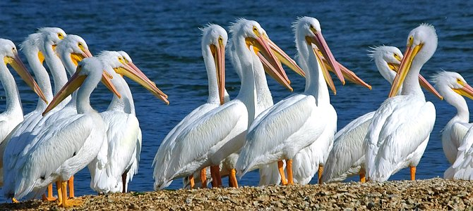 Scoop of Pelicans