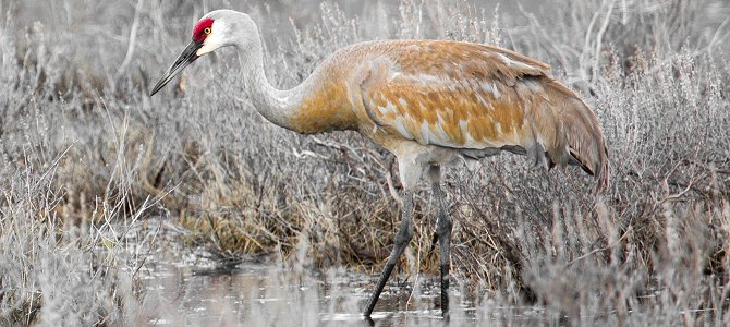 Bird of the Week: Sandhill Crane