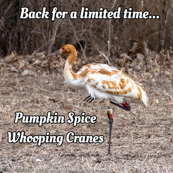 Pumpkin Spice Whooping Crane