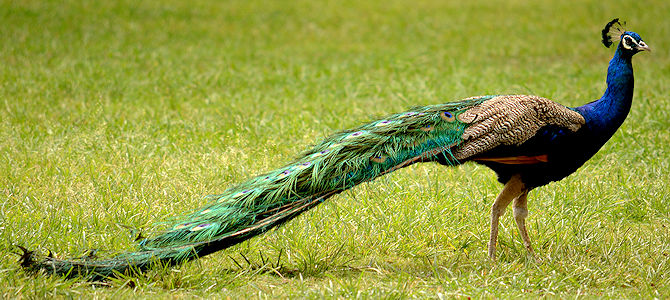 Weekly Bird: Indian Peafowl