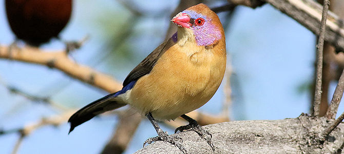 Violet-Eared Waxbill - Female