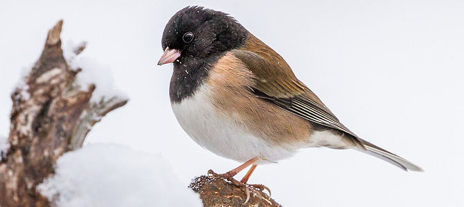 Weekly Bird: Dark-Eyed Junco