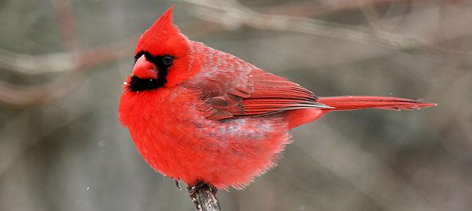 Weekly Bird: Northern Cardinal