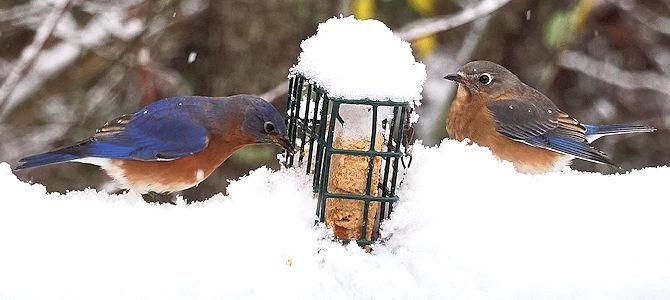 Bluebirds at the Suet Feeder