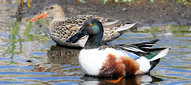 Northern Shoveler Photo Gallery