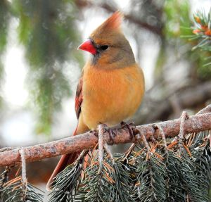 Female Cardinal - Photo by Ken Gibson