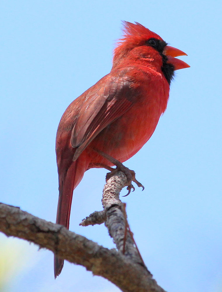 Male Cardinal Singing - Photo by Gary Leavens
