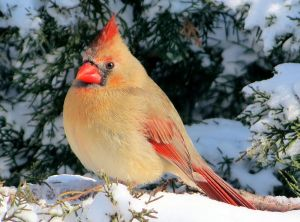 Female Cardinal in Snow - Photo by Nick Varvel