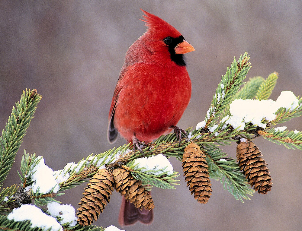 Male Northern Cardinal - Photo by John Waldinger