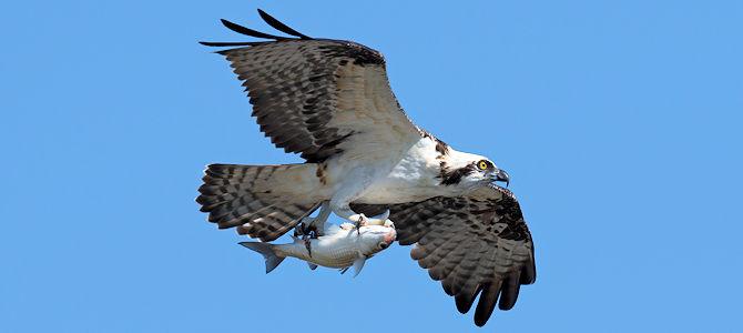 Osprey Photo Gallery