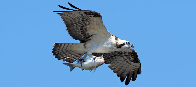 Osprey With Fish - Photo by Russ