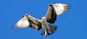 Hovering Osprey - Photo by Don Faulkner