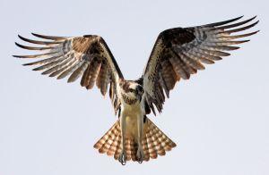 Hovering Osprey - Photo by Matt Tillett