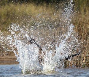 Osprey Hunting Splash - Photo by Dan Pancamo