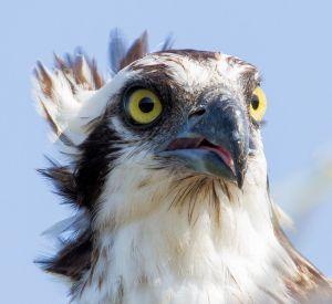 Osprey Portrait - Photo by Larry Hennessy