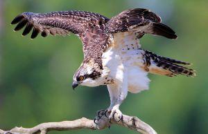 Juvenile Osprey Ready for Takeoff - Photo by Nigel