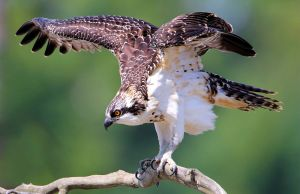 Juvenile Osprey Ready for Takeoff - Photo by Nigel