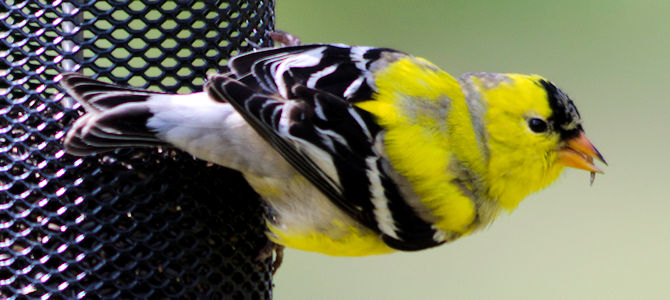 Molting Male American Goldfinch - Photo by malibuskiboats