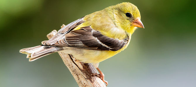 American Goldfinch Photo Gallery