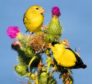 Goldfinch Pair on Thistle - Photo by Larry Hennessy