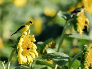 Goldfinches in a Sunflower Field - Photo by Laura Wolf