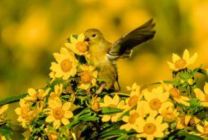 American Goldfinch in Golden Flowers - Photo by Jen Goellnitz