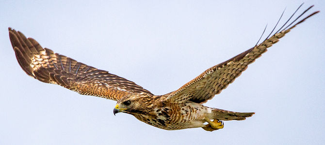 Red-Shouldered Hawk in Flight - Photo by Andy Morffew