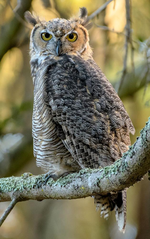Great Horned Owl - Photo by Becky Matsubara