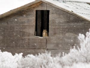 Great Horned Owl Winter Roost - Photo by Nick Saunders
