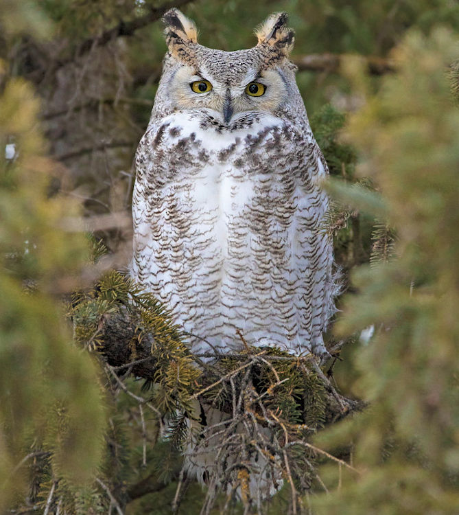 Light Morph Great Horned Owl - Photo by Nick Saunders