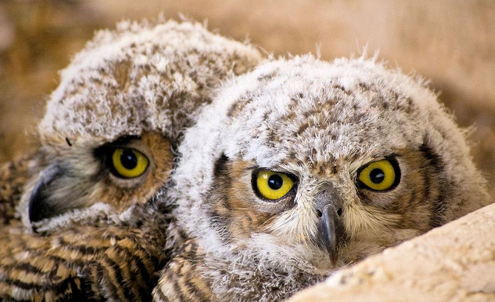 Great Horned Owlets - Photo by Ken Bosma