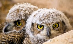 Great Horned Owlets - Photo by Ken Bosma