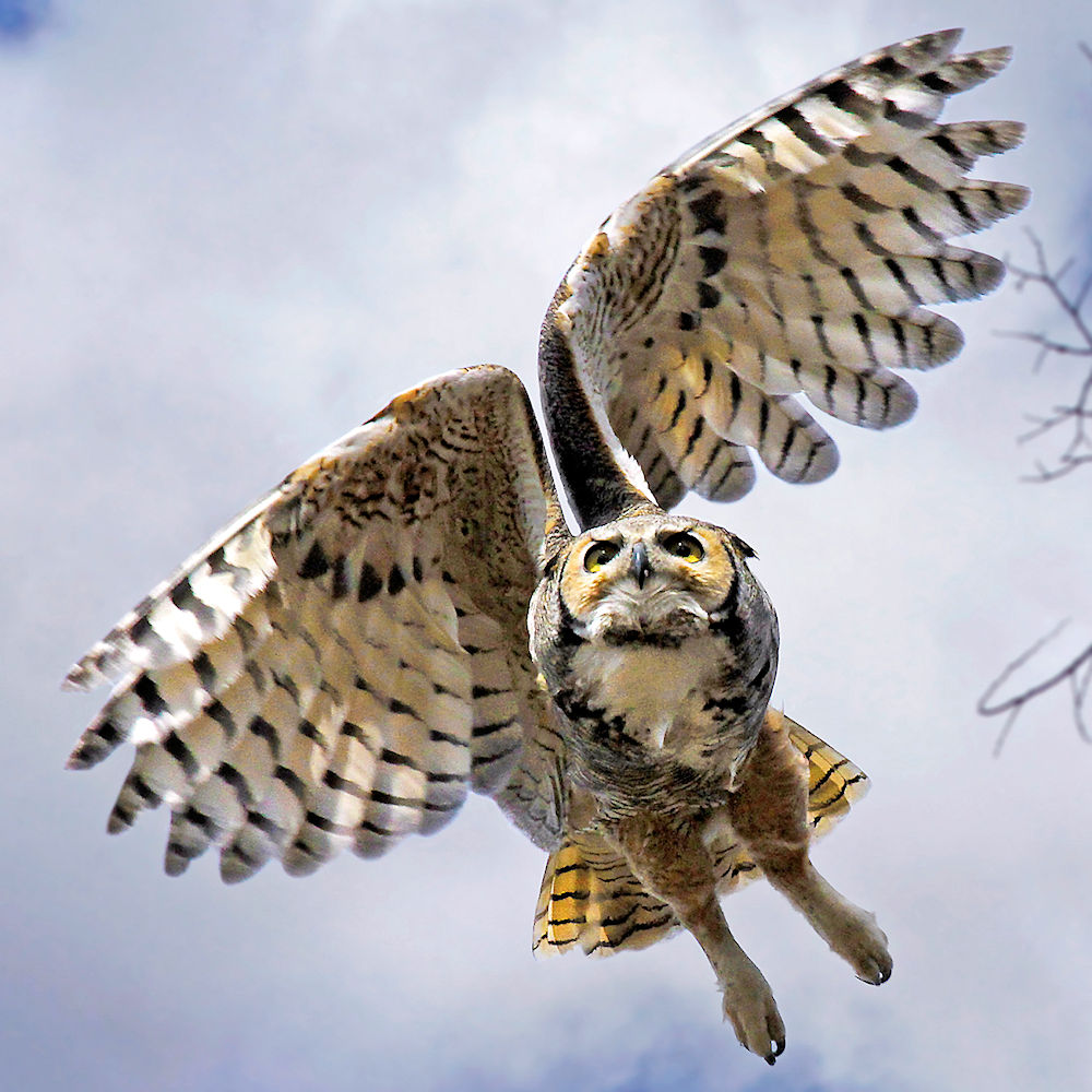 Great Horned Owl in Flight - Photo by Vic Schendel