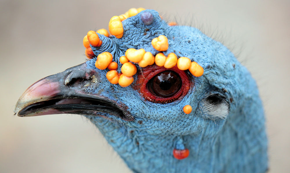 Ocellated Turkey Profile - Photo by Roberto González