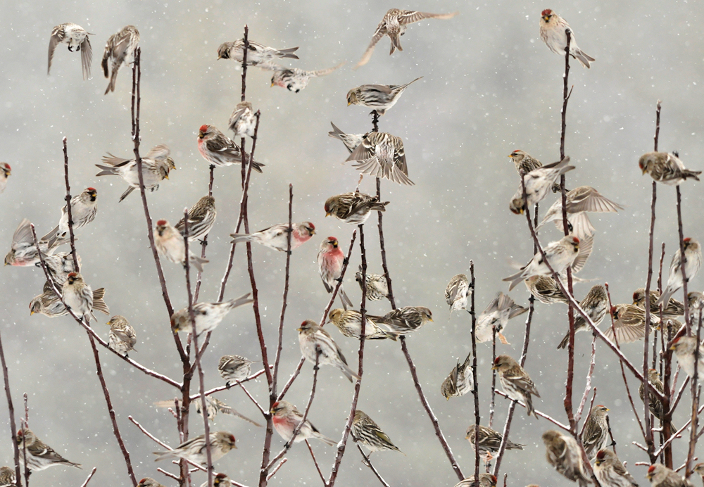 Mixed Flock - Common Redpolls and Pine Siskins - Photo by Jerry Hiam