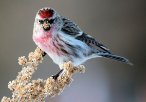 Seed Munching - Photo by Tim Lenz