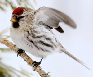 Common Redpoll - Takeoff - Photo by dfaulder