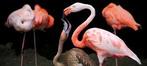Flamingo Feeding a Chick - Photo by Zoltán Vörös