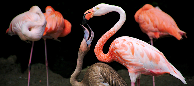 Flamingo Feeding a Chick - Photo by Zoltán Vörös
