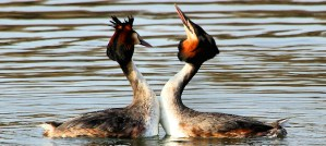 Great Crested Grebes Dancing - Photo by Airwolfhound