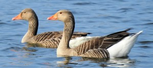 Greylag Geese - Photo by ianpreston